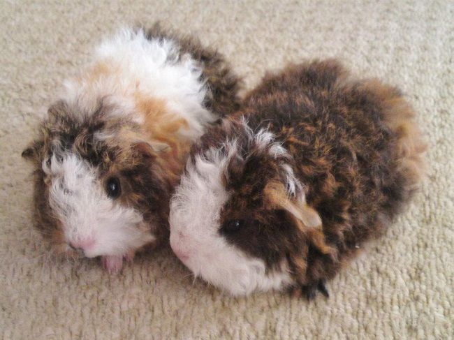 baby texel guinea pigs | Zoe Fans Blog