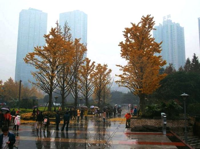 Beautiful ginkgo trees in Chongqing CBD, one of the wonderful legacies of former Chongqing leader Bo Xilai