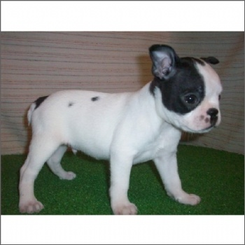 Boston Terrier Puppy For Sale #bostonterrier #dog #pet #puppy #forsale #sale #bostonterrier #dog #pet #puppy #forsale #sale