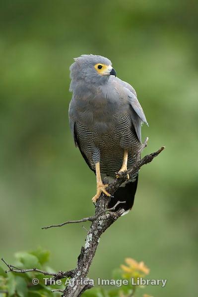 African harrier hawk,  Gymnogene, K N Park