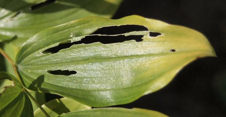 Solomon's seal sawfly (Phymatocera aterrima) are a real problem when growing Solomon's seal. The larvae of these insects eat distinctive stips from the leaves. Deal with them quickly or the entire plant may be defoliated. Find out more at oakleafgardening.com