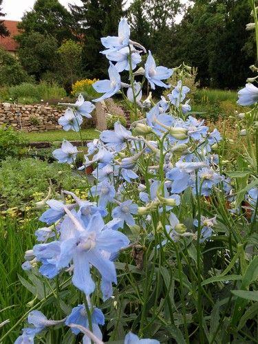 Ostrožka ´Cliveden Beauty´ - Delphinium Belladona ´Cliveden Beauty´ 120-130 cm, světle modrá s bělavým očkem, VI-VII, kontejner 1,5 litru