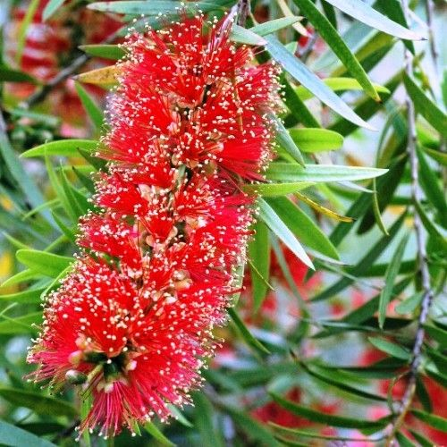 Callistemon 'Captain Cook' a compact little bottlebrush, lots of red flowers to attract native birds #australian