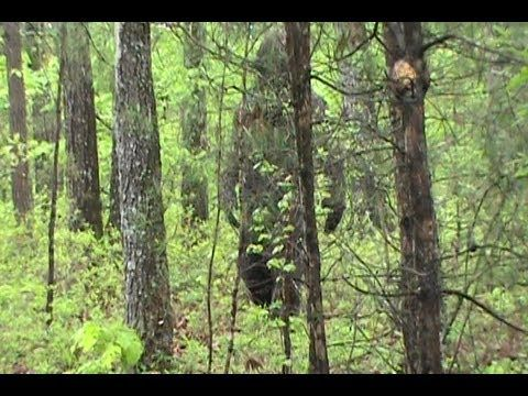 Amazing Bigfoot Footage (Legends Beware) filmed by a child who thought she was filming a bear