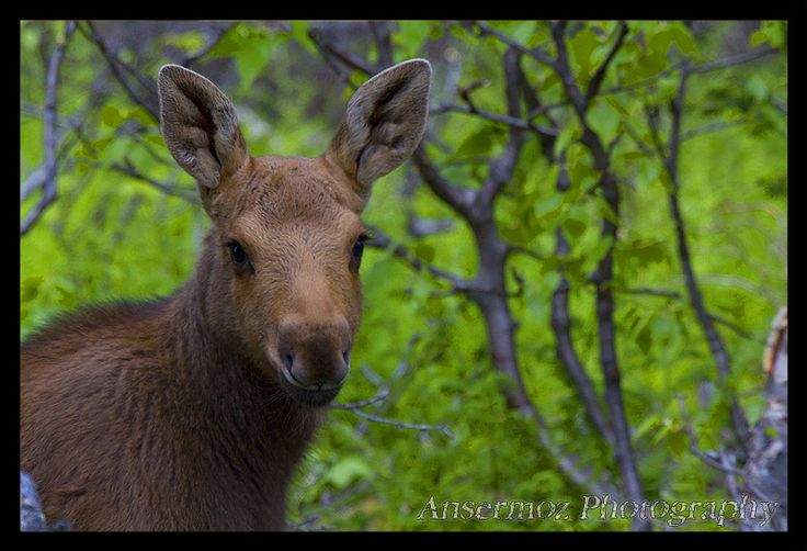 Moose cub in the woods