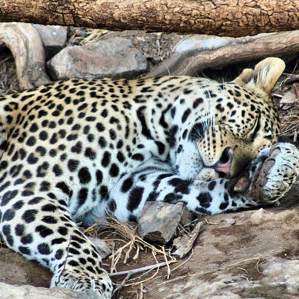 leopard sleeps. botswana