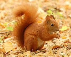 #England's #native #Red #Squirrel receives vital support in its battle for #survival. http://www.furfeatherandfin.com/blog/index.php/red-squirrel-receives-vital-support-in-its-battle-for-survival/