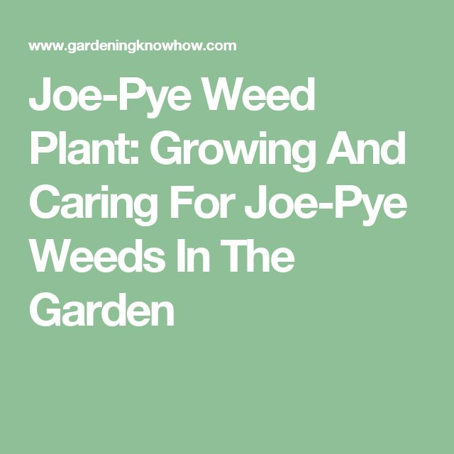 Joe-Pye Weed Plant: Growing And Caring For Joe-Pye Weeds In The Garden