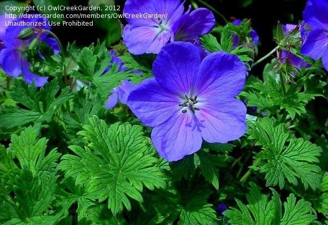Full size picture of Himalayan Geranium, Lilac Cranesbill 'Baby Blue' (Geranium himalayense)