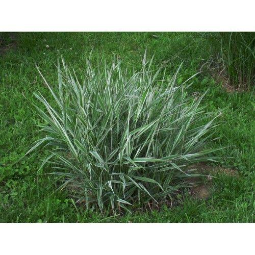 Mozga trzcinowata 'Feesey' (Phalaris arundinacea) - Roslinowo.pl
