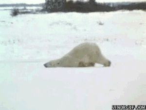 Funny-Polar-Bear.gif (GIF Image, 300x227 pixels)