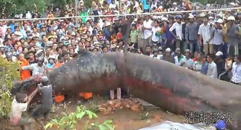 Recently, Karapaia, a Japanese news site focusing on the strange and weird, posted a video of what seems to be a giant monster being dug out of the ground in Vietnam. In the video, the long, fat, gray slug-like creature is surrounded by a crowd of curious onlookers watching with rapt attention as the horrifying behemoth is hoisted onto a trailer.  But what in the world could it be? A giant worm? An alien aggressor? A genetic experiment gone horribly wrong?