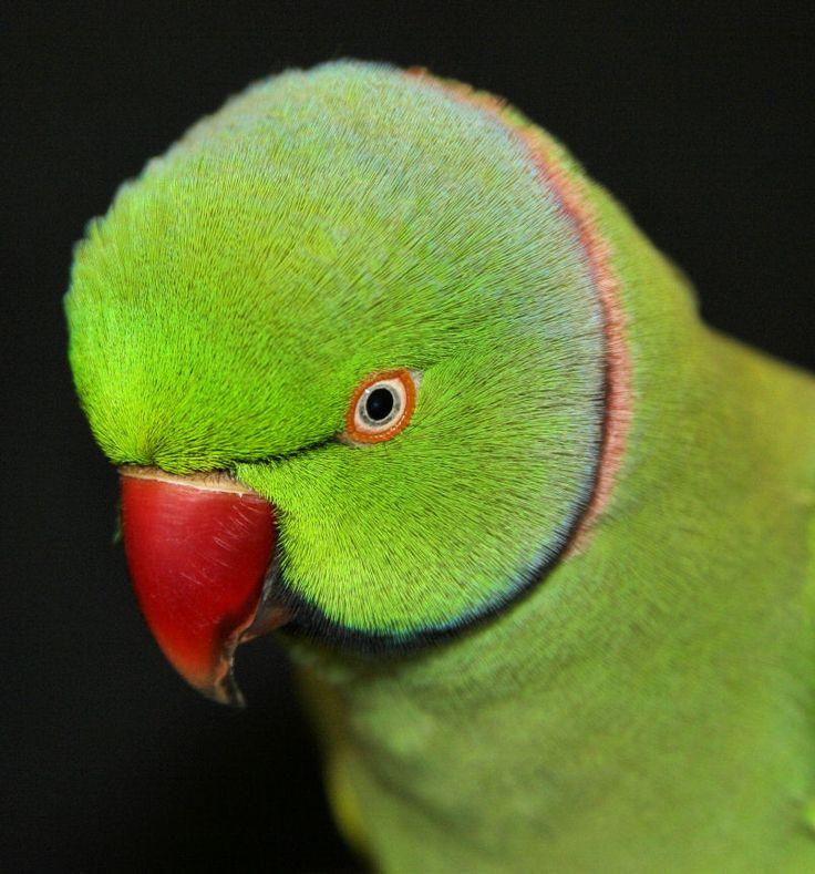78+ images about African ringneck parrots on Pinterest ...