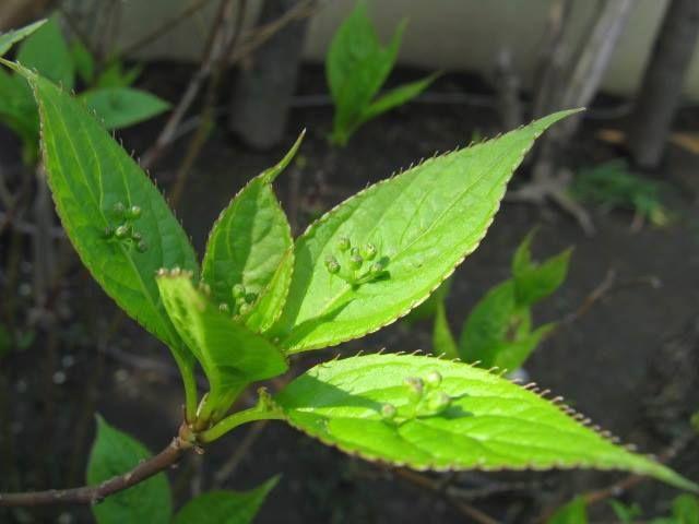 9月4日の誕生日の木は、葉っぱの上に花が咲き、実が生る「ハナイカダ(花筏)」です。 名前の由来はもちろんこの特徴的な姿。葉の上に載った花や実を筏に乗った人に見立てたものですね。 ミズキ科ハナイカダ属。雄木と雌木がある雌雄異株(しゆういしゅ)の落葉低木です。原産地は、日本、中国、韓国などの東アジア。林縁や沢沿いなどでよく見られます。 花が咲くのは6月頃。雄株では葉の上に数個の雄花が集まって咲きます。雌株では葉の上に雌花が通常は1個、稀に2~3個咲く事があります。一見、葉の上に花が乗っているように見えますが、実際は葉の真ん中を縦に走る葉脈と花の軸が癒着した結果そのように見えるのだそうです。 ハナイカダの若葉は、山菜としても知られます。天ぷらや、炒め物などにして食べられます。また、若葉をご飯に炊き込み「菜飯」とする事から、ハナイカダには「ママッコ(飯子)」という別名があります。