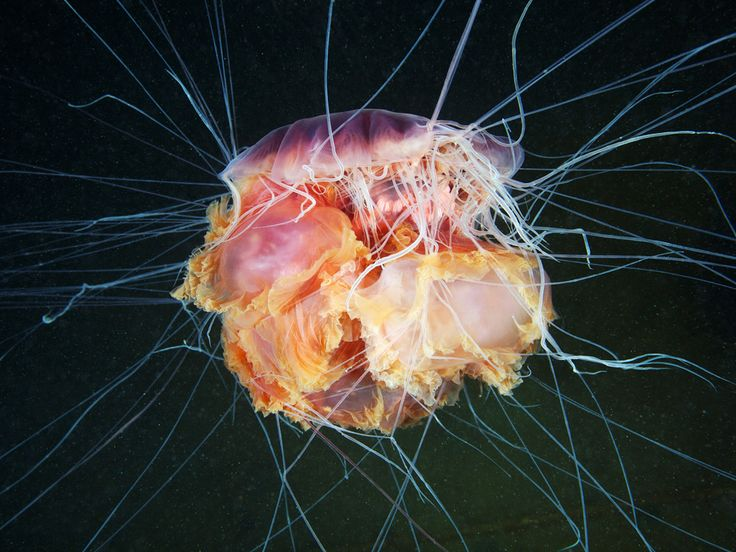 The lion's mane is the largest kind of jellyfish. One specimen discovered in Massachusetts Bay, US, in 1870 had a diametre of 2.29m and tentacle length of 37m.