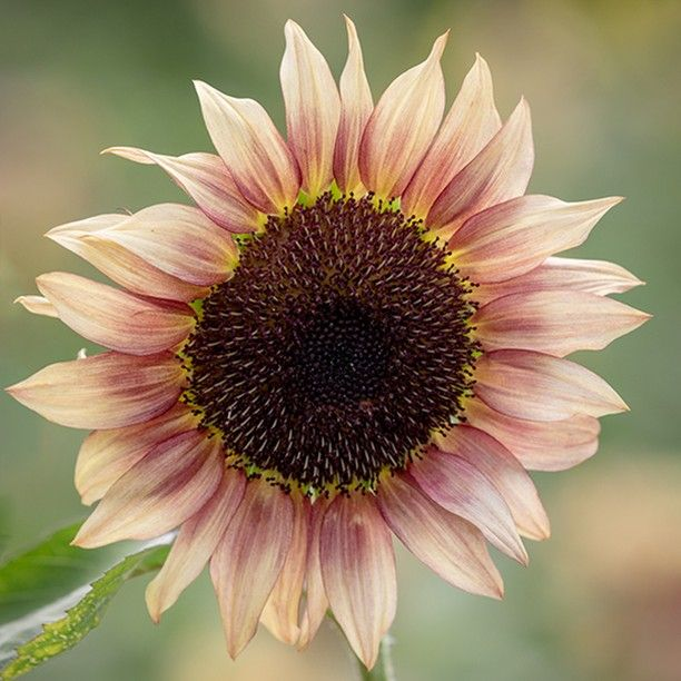 Sarah Raven On Instagram Hurrah Our 2020 Seeds Range Is Now Available To Order Online Discover Sunflower Images Growing Sunflowers From Seed Red Sunflowers
