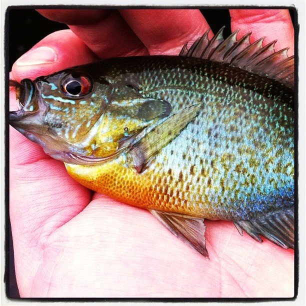 33 best images about fish bluegill on pinterest for Bluegill fly fishing