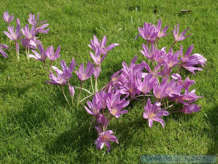 http://faaxaal.forumactif.com/t4166-photo-de-liliacee-colchique-d-automne-colchicum-autumnale-safran-sauvage-autumn-crocus-meadow-saffron-naked-lady
