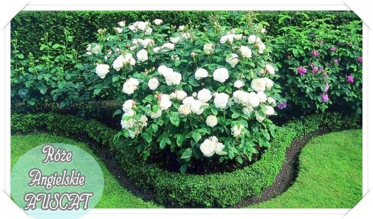 róże angielskie Auscat