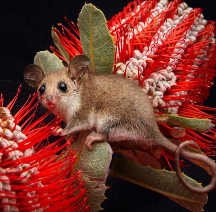 Australian western pygmy possum - Cercartetus concinnus