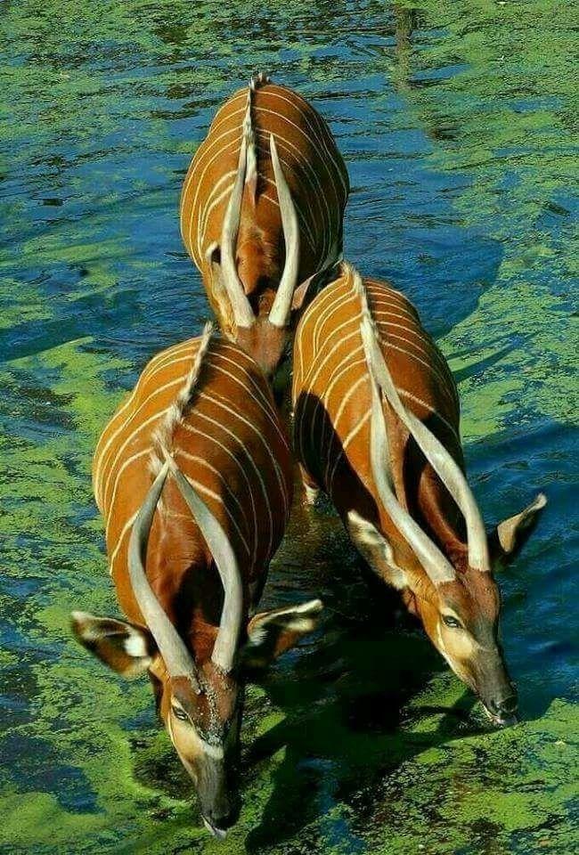 Antelopes drinking