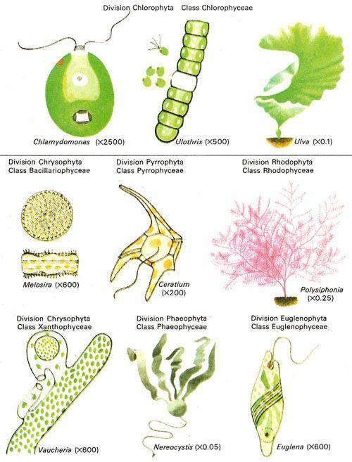 divisions of algae colonial organisms pinterest