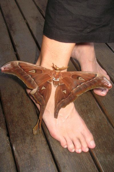 Hercules Moth, Mission Beach, Queensland..........just as well this NEVER happened to you!!!!!!!