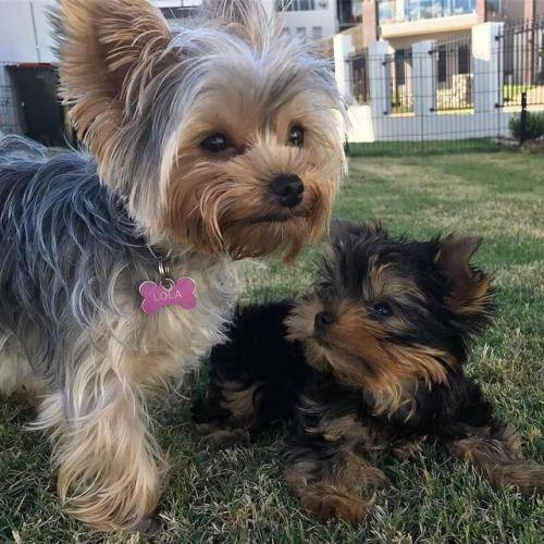 #Repost @lolypolywoly_yorkie #puppylove #yorkie...