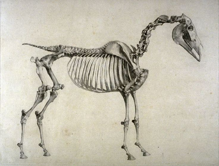 Nice Horse Anatomy Drawing Mold - Anatomy And Physiology Biology ...