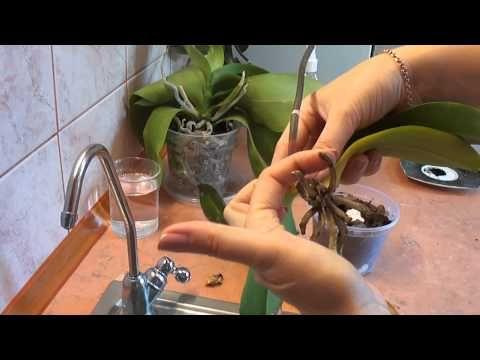 Орхидея. Реанимация орхидеи. Один из способов. orchid rehabilitation - YouTube