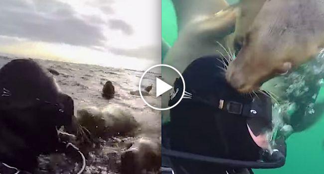 Curiosos Leões-Marinhos Dão As Boas Vindas a Mergulhador http://www.funco.biz/curiosos-leoes-marinhos-dao-as-boas-vindas-mergulhador/