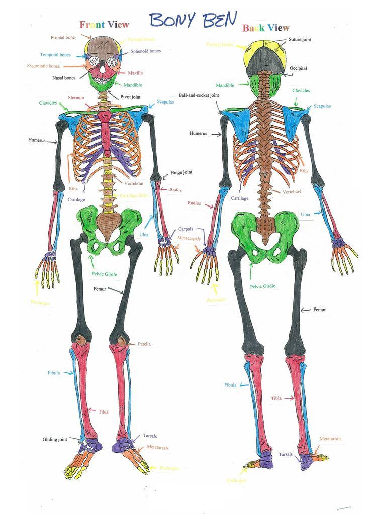 pin by monica sparks on school skeleton system skeletal. Black Bedroom Furniture Sets. Home Design Ideas