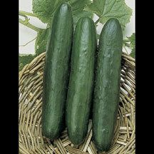 Sweet Slice Hybrid Cucumber -A productive hybrid with mild flavor and no trace of bitterness - not a 'burp' in a bushel. Vigorous vines produce a heavy crop of slim, medium-dark green fruits 10 to 12 inches long. Flesh is pure white, crisp and tender with thin skin. Has excellent disease resistance.