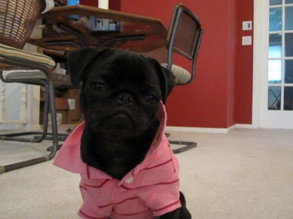 Yo, where my bitches at?: Funny Animal Pictures, Black Pugs, Cute Pugs, Collars, Polo Shirts, Pink Shirts, Pugs Life, Pictures Quotes, Cute Dogs