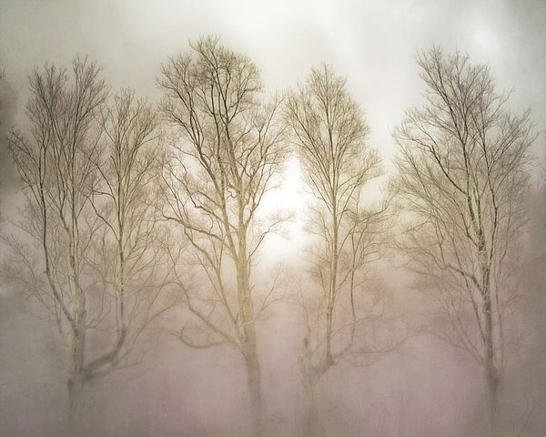 Bare Trees in the Mist