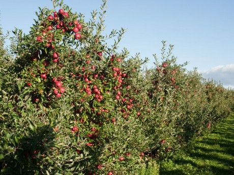 Crunch Time Apple Growers' popular RubyFrost apples are arriving now at supermarkets across the United States. They will be available for a short time only, so retailers and consumers are urged.....