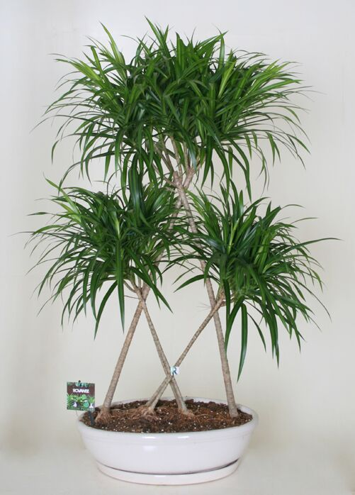 Dropbox - Green Power-Dracaena refl.jpg