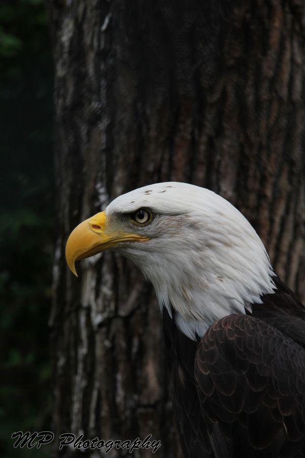 Best 119 Eagle Ideas On Pinterest