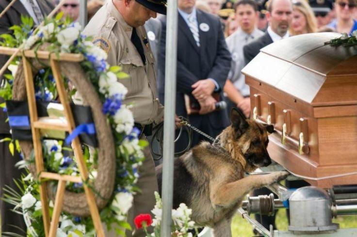 Ici Figo, un chien de police du Kentucky, fait ses derniers adieux à son partenaire humain, l'agent Jason Ellis, tué dans l'exercice de ses fonctions