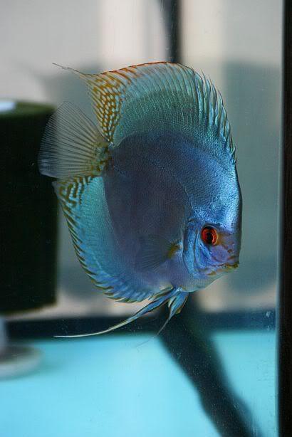 Cobalt Blue Discus