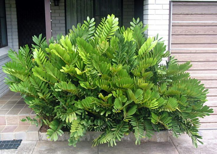 Zamia furfuracea | Cardboard Plant | full or part sun | front garden | in front of garage if making garden under palms