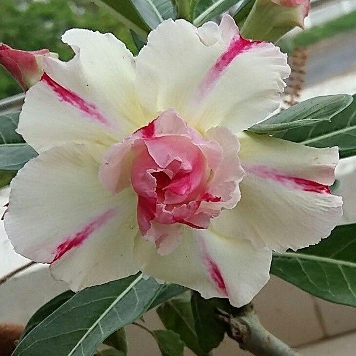 White Desert Rose
