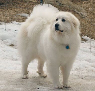 Great-Pyrenees. My dream dog. Absolutely want one of these when I get my own place.