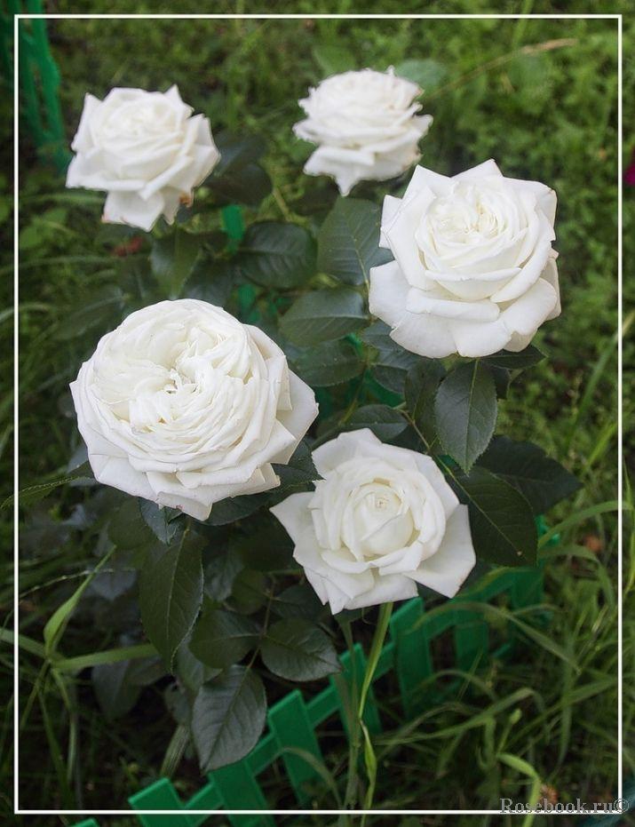roger whittaker rose garden roses pinterest roses teas and galleries. Black Bedroom Furniture Sets. Home Design Ideas