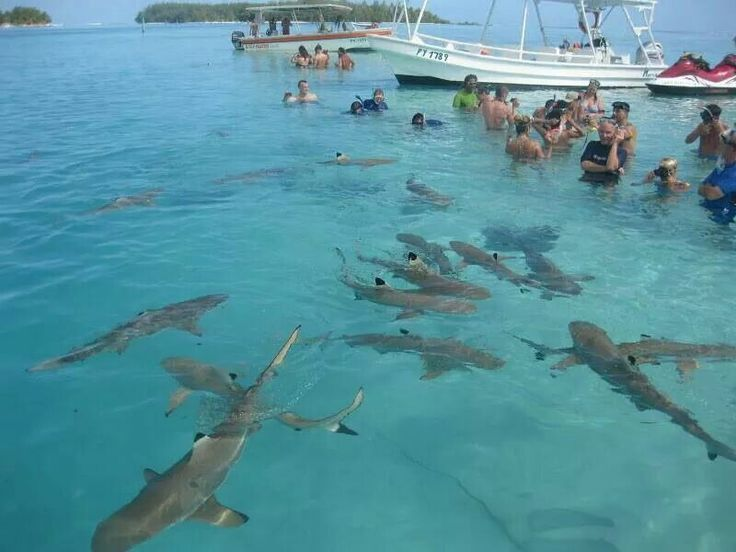 Swimming With Sharks You Can Do This In Bora Bora
