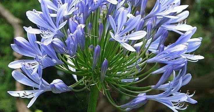 Cómo podar agapantos. El agapanto, comúnmente conocido como lirio del Nilo o Nilo Lily, es oriundo de Sudáfrica y produce una gran flor globo de cabeza conocida como umbela sobre tallos largos, delgados y arquitectónicos. La gama de flores de color blanco y azul-lavanda a profundo azul-púrpura aparecen desde finales de la primavera hasta principios del otoño ...