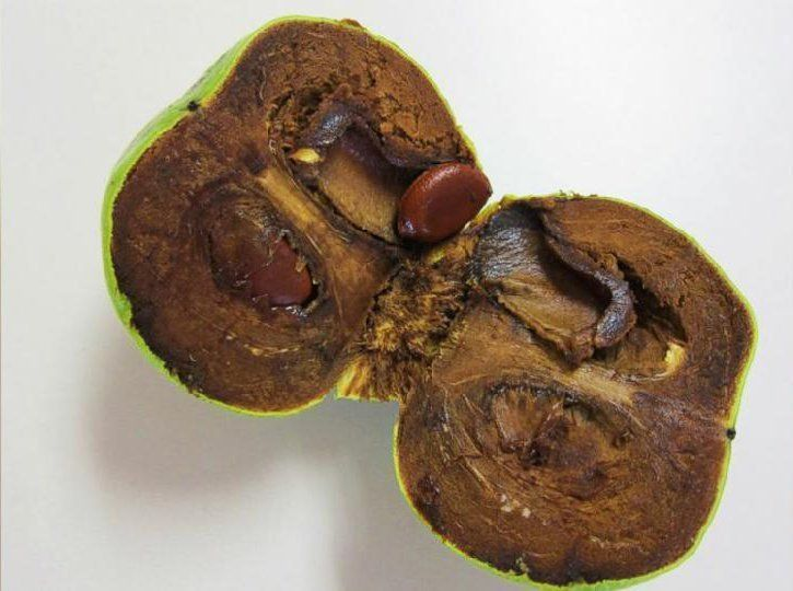 black sapote -- chocolate pudding fruit..eat when really ripe! seasonal in december in US