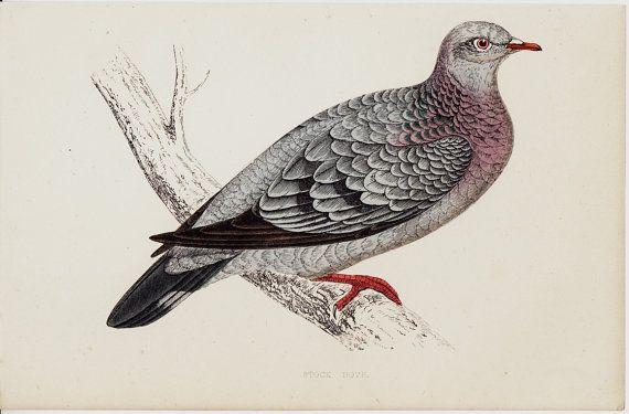 1865 Antique DOVE print stock dove by TwoCatsAntiquePrints on Etsy