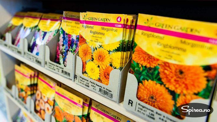 Selv om ditt lokale hagesenter ikke har åpnet for sesongen, er det fullt mulig å bestille frø på nett. Her er noen norske og utenlandske nettbutikker med et godt utvalg. Skal du så for eksempel tomatplanter, er du nødt til å få frøene i jorda i løpet av mars måned, hvis ikke rekker de ikke …
