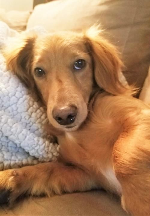 Hi I'm Wyatt ! Santa says you asked for a #longhaired #young #dachshund boy who #loves to #play chase !!! Here I am !! All you need to do is get my #adoption papers filled out ! I'm ready !